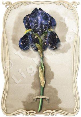 Iris Nocturna